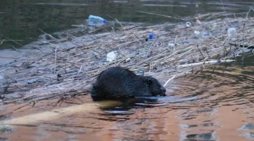 ВОмской области бобры усложнят прохождение паводка