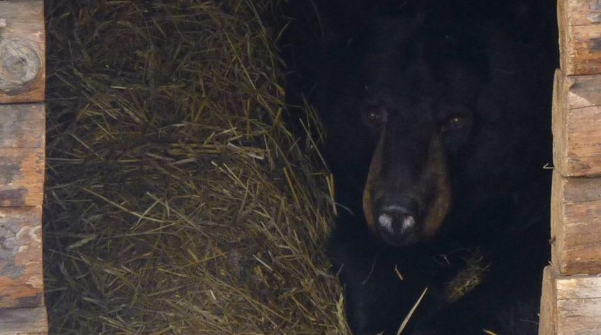 ВБольшереченском зоопарке медведица Маша родила прямо вспячке