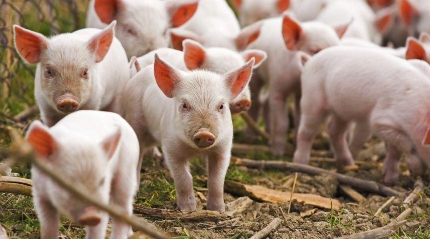Очаг чумы свиней отыскали вЛенинском округе
