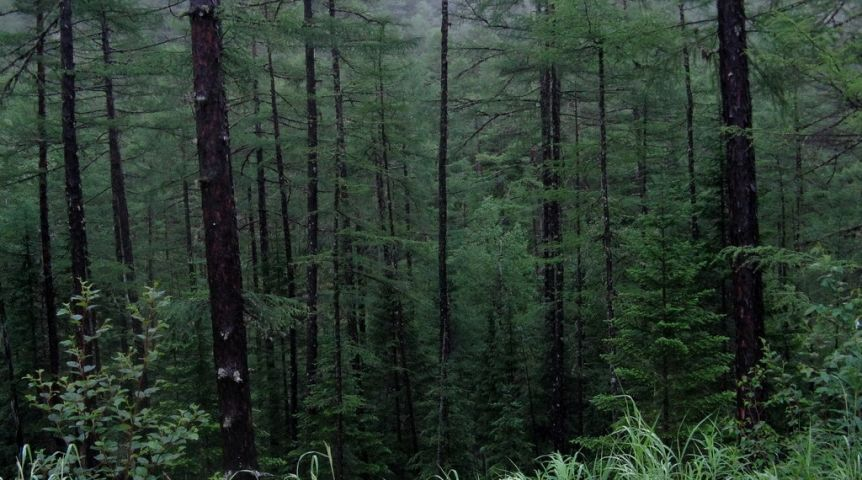 Омские лесники ичиновники недоглядели за«черными лесорубами»