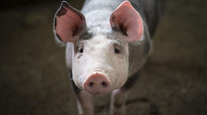 ВОмской области объявили обокончании карантина из-за африканской чумы свиней